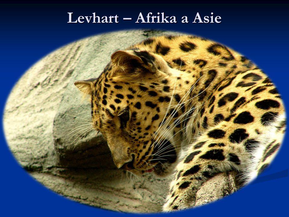 Levhart – Afrika a Asie