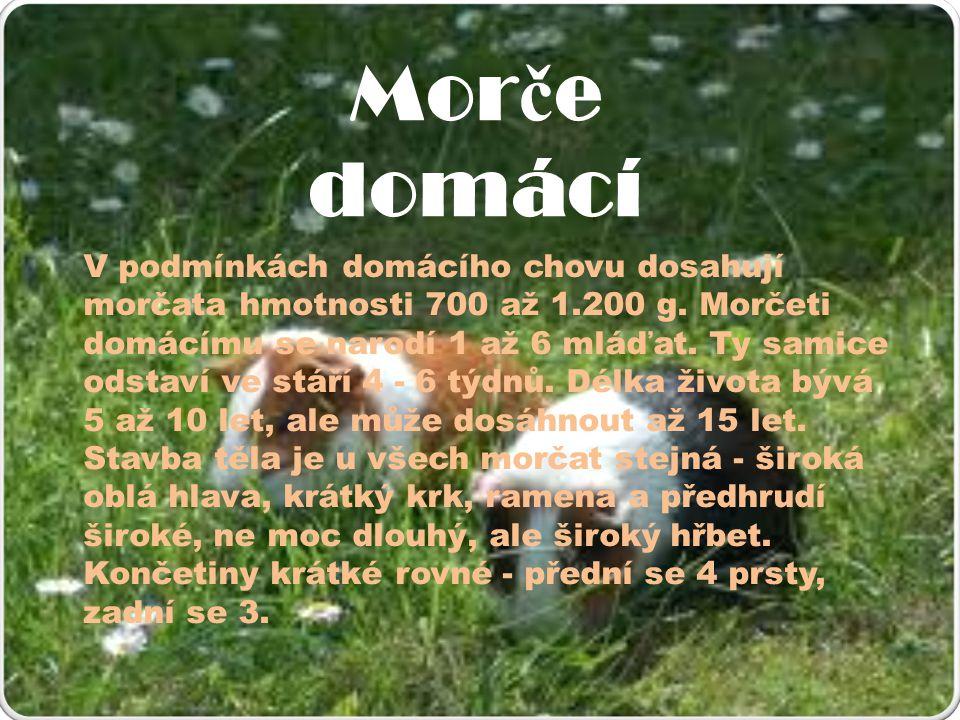 Mor č e domácí V podmínkách domácího chovu dosahují morčata hmotnosti 700 až 1.200 g.
