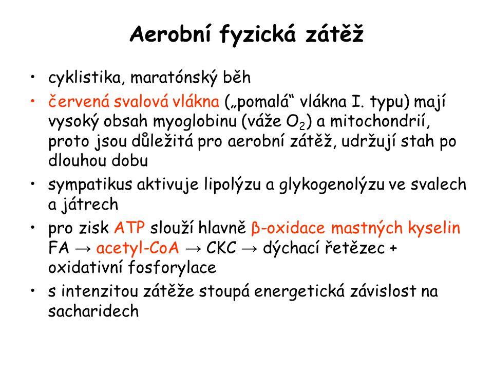 """Aerobní fyzická zátěž cyklistika, maratónský běh červená svalová vlákna (""""pomalá"""" vlákna I. typu) mají vysoký obsah myoglobinu (váže O 2 ) a mitochond"""