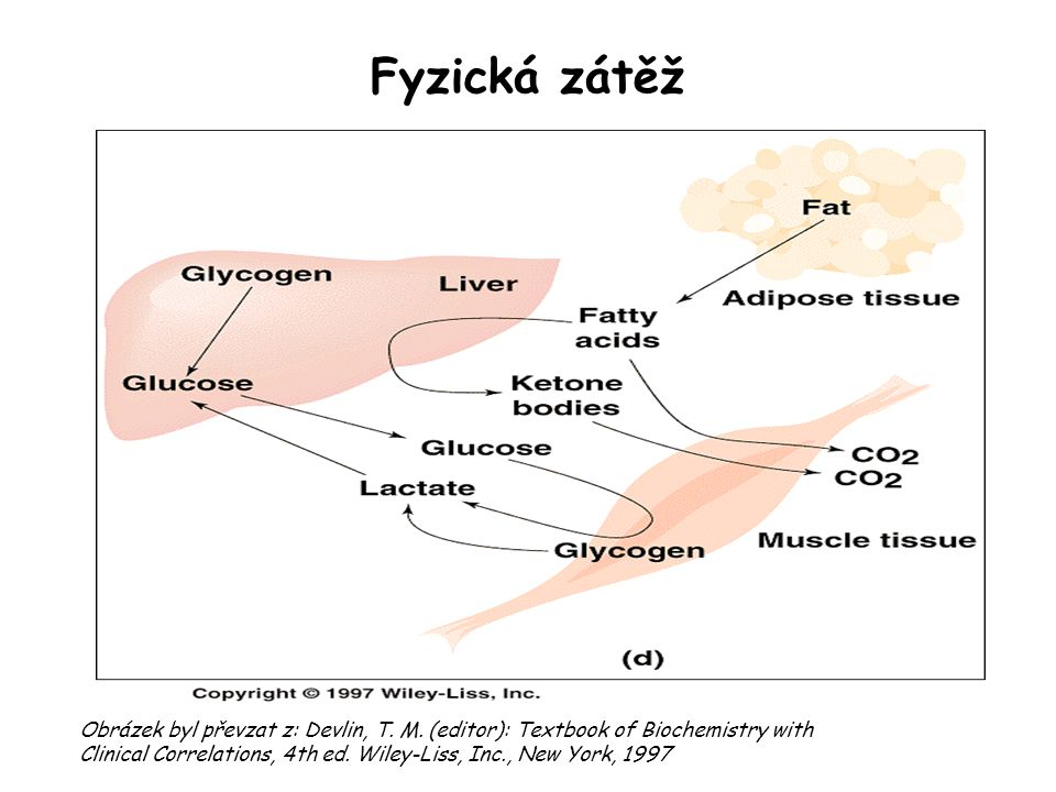 Fyzická zátěž Obrázek byl převzat z: Devlin, T. M. (editor): Textbook of Biochemistry with Clinical Correlations, 4th ed. Wiley ‑ Liss, Inc., New York