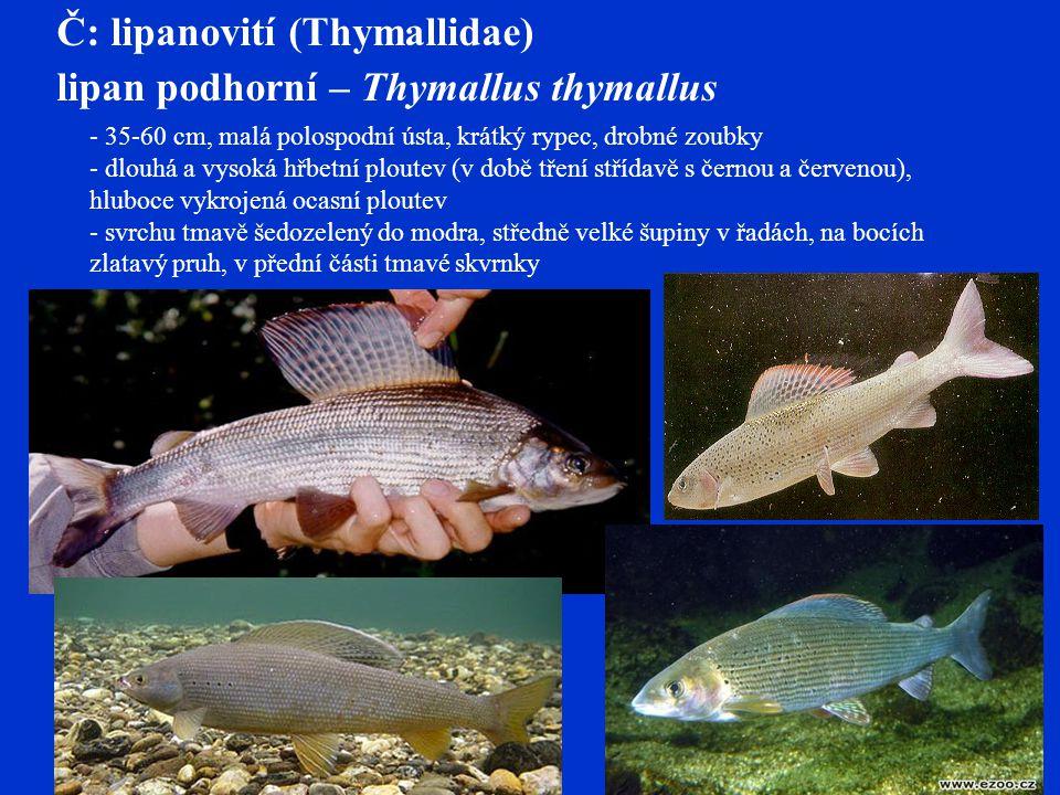 lipan podhorní – Thymallus thymallus - 35-60 cm, malá polospodní ústa, krátký rypec, drobné zoubky - dlouhá a vysoká hřbetní ploutev (v době tření střídavě s černou a červenou), hluboce vykrojená ocasní ploutev - svrchu tmavě šedozelený do modra, středně velké šupiny v řadách, na bocích zlatavý pruh, v přední části tmavé skvrnky Č: lipanovití (Thymallidae)
