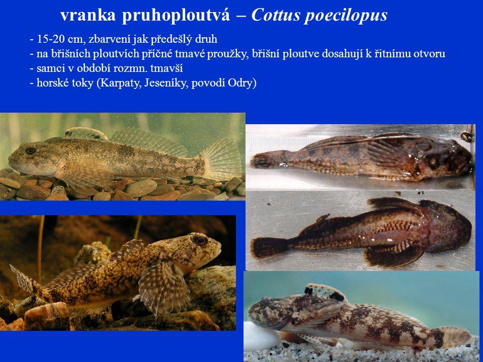 vranka pruhoploutvá – Cottus poecilopus - 15-20 cm, zbarvení jak předešlý druh - na břišních ploutvích příčné tmavé proužky, břišní ploutve dosahují k řitnímu otvoru - samci v období rozmn.