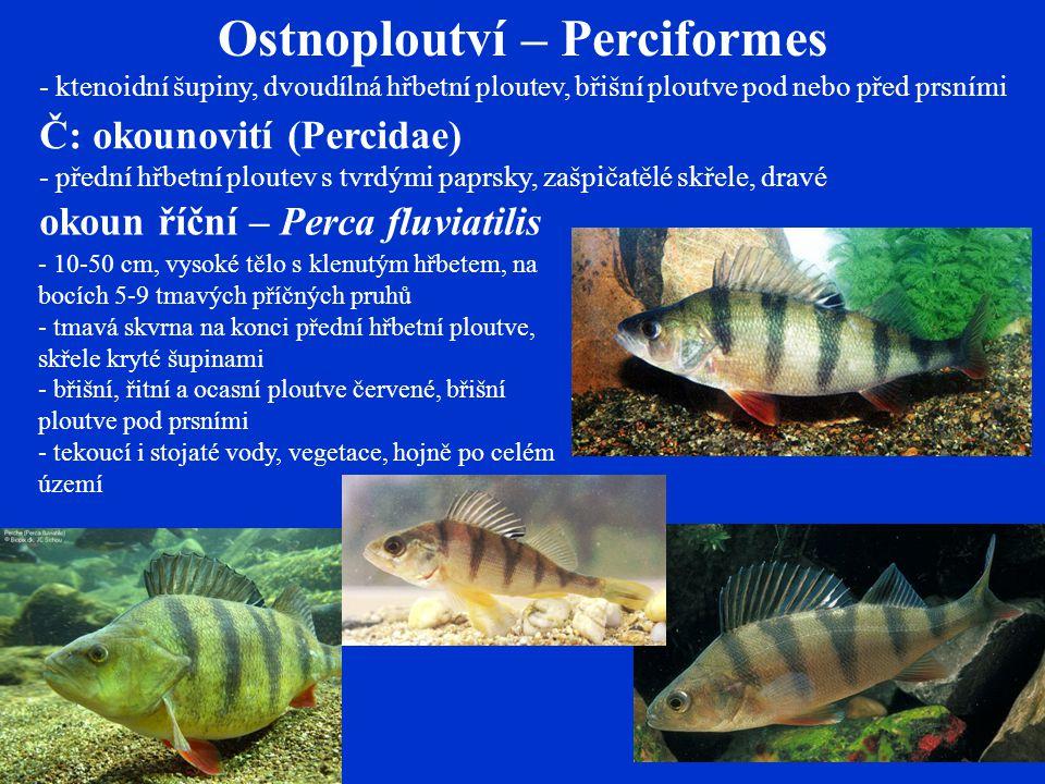 Ostnoploutví – Perciformes - ktenoidní šupiny, dvoudílná hřbetní ploutev, břišní ploutve pod nebo před prsními Č: okounovití (Percidae) - přední hřbetní ploutev s tvrdými paprsky, zašpičatělé skřele, dravé okoun říční – Perca fluviatilis - 10-50 cm, vysoké tělo s klenutým hřbetem, na bocích 5-9 tmavých příčných pruhů - tmavá skvrna na konci přední hřbetní ploutve, skřele kryté šupinami - břišní, řitní a ocasní ploutve červené, břišní ploutve pod prsními - tekoucí i stojaté vody, vegetace, hojně po celém území