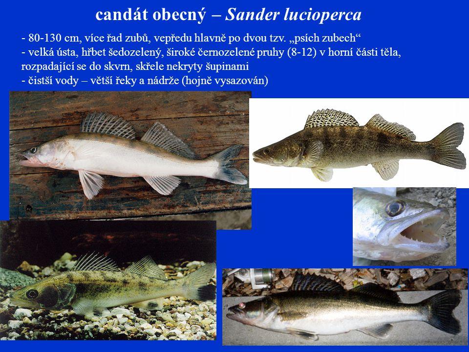 candát obecný – Sander lucioperca - 80-130 cm, více řad zubů, vepředu hlavně po dvou tzv.