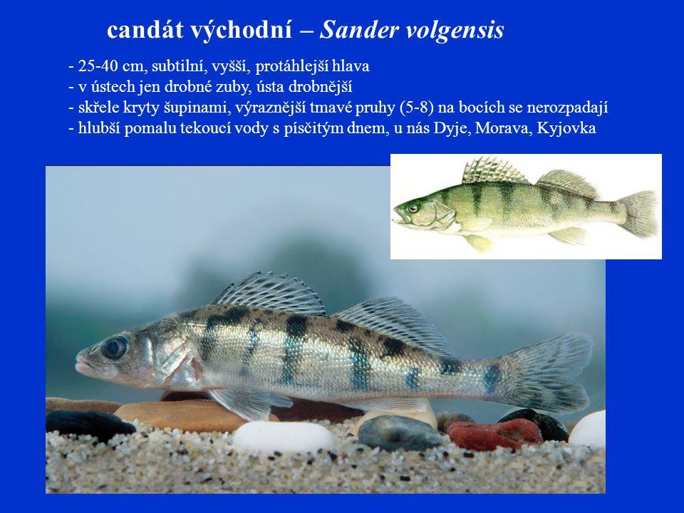candát východní – Sander volgensis - 25-40 cm, subtilní, vyšší, protáhlejší hlava - v ústech jen drobné zuby, ústa drobnější - skřele kryty šupinami, výraznější tmavé pruhy (5-8) na bocích se nerozpadají - hlubší pomalu tekoucí vody s písčitým dnem, u nás Dyje, Morava, Kyjovka