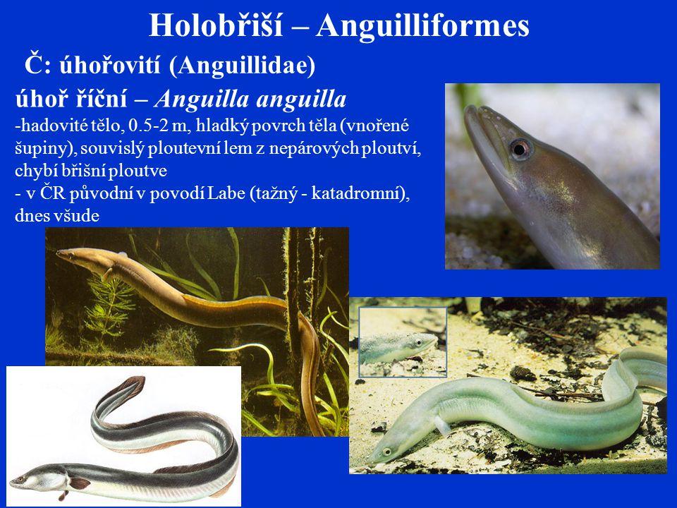 Holobřiší – Anguilliformes Č: úhořovití (Anguillidae) úhoř říční – Anguilla anguilla -hadovité tělo, 0.5-2 m, hladký povrch těla (vnořené šupiny), souvislý ploutevní lem z nepárových ploutví, chybí břišní ploutve - v ČR původní v povodí Labe (tažný - katadromní), dnes všude