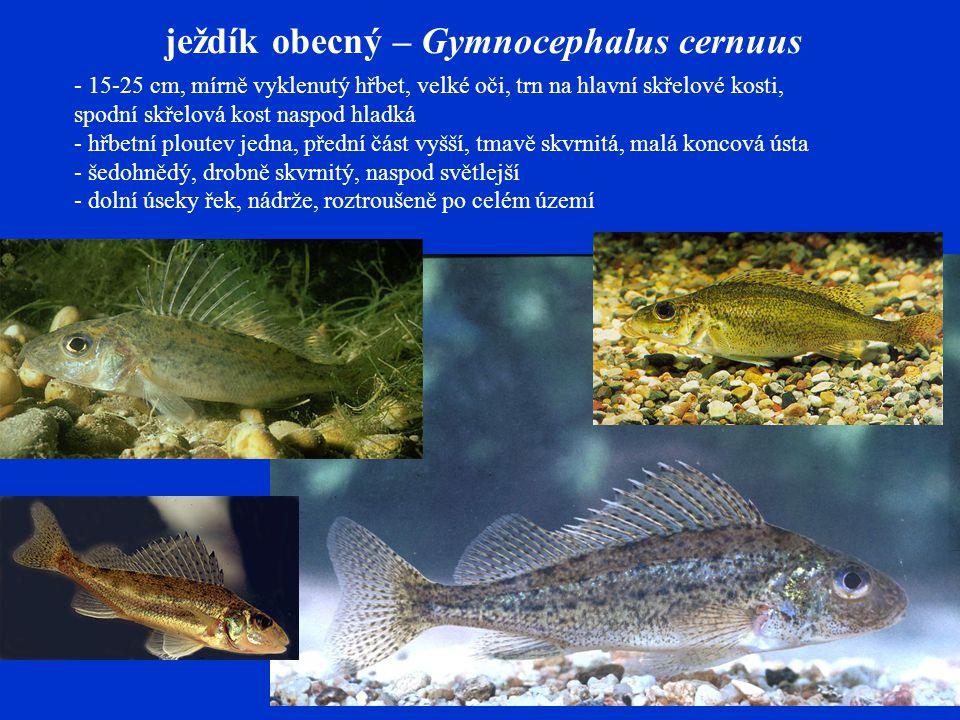 ježdík obecný – Gymnocephalus cernuus - 15-25 cm, mírně vyklenutý hřbet, velké oči, trn na hlavní skřelové kosti, spodní skřelová kost naspod hladká - hřbetní ploutev jedna, přední část vyšší, tmavě skvrnitá, malá koncová ústa - šedohnědý, drobně skvrnitý, naspod světlejší - dolní úseky řek, nádrže, roztroušeně po celém území