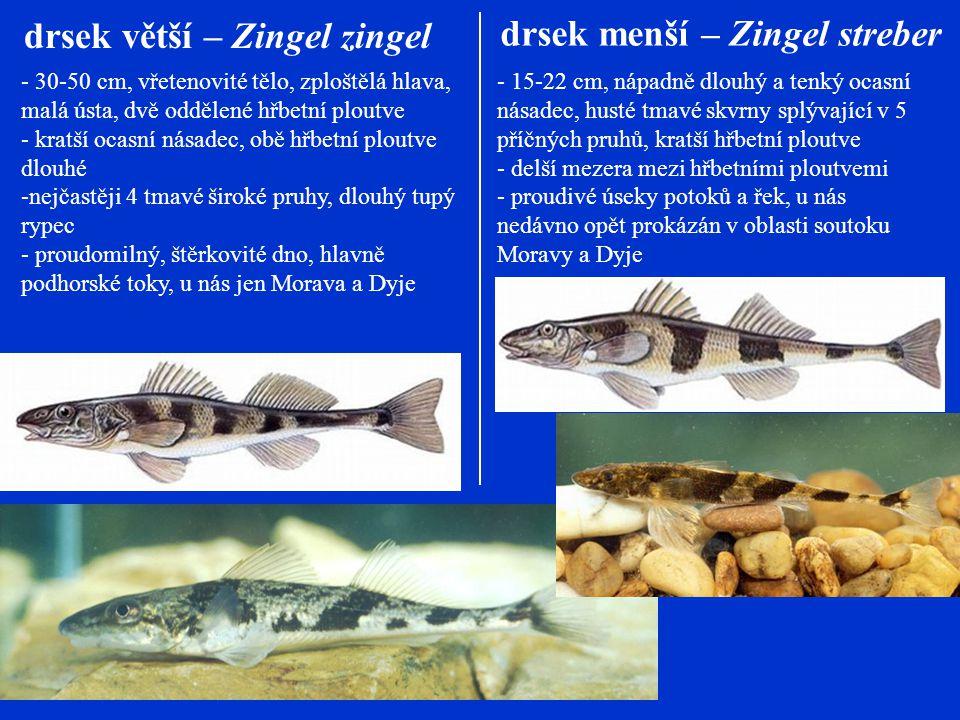 drsek větší – Zingel zingel - 30-50 cm, vřetenovité tělo, zploštělá hlava, malá ústa, dvě oddělené hřbetní ploutve - kratší ocasní násadec, obě hřbetní ploutve dlouhé -nejčastěji 4 tmavé široké pruhy, dlouhý tupý rypec - proudomilný, štěrkovité dno, hlavně podhorské toky, u nás jen Morava a Dyje drsek menší – Zingel streber - 15-22 cm, nápadně dlouhý a tenký ocasní násadec, husté tmavé skvrny splývající v 5 příčných pruhů, kratší hřbetní ploutve - delší mezera mezi hřbetními ploutvemi - proudivé úseky potoků a řek, u nás nedávno opět prokázán v oblasti soutoku Moravy a Dyje