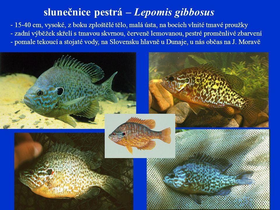 slunečnice pestrá – Lepomis gibbosus - 15-40 cm, vysoké, z boku zploštělé tělo, malá ústa, na bocích vlnité tmavé proužky - zadní výběžek skřelí s tmavou skvrnou, červeně lemovanou, pestré proměnlivé zbarvení - pomale tekoucí a stojaté vody, na Slovensku hlavně u Dunaje, u nás občas na J.