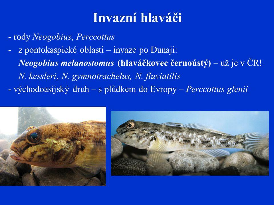 Invazní hlaváči - rody Neogobius, Perccottus -z pontokaspické oblasti – invaze po Dunaji: Neogobius melanostomus (hlaváčkovec černoústý) – už je v ČR.