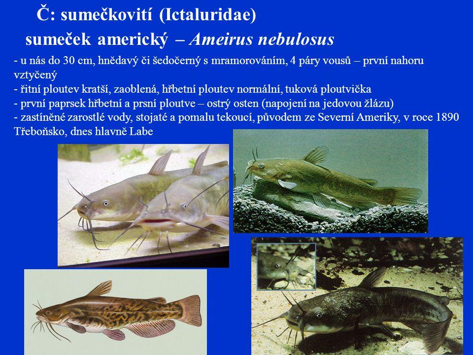 Štiky – Esociformes Č: štikovití (Esocidae) štika obecná – Esox lucius - 120-150 cm, torpédo s protáhlou hlavou, ostré vzad skloněné zuby + patrové - hřbetní ploutev posunuta nad řitní, přerušovaná postranní čára, cykloidní šupiny - světle zelené boky se světlými skvrnami (variabilní), tmavá kresba na ploutvích - pomalu tekoucí vody, nádrže, rybníky, vegetace