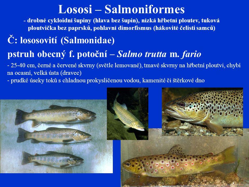 Lososi – Salmoniformes - drobné cykloidní šupiny (hlava bez šupin), nízká hřbetní ploutev, tuková ploutvička bez paprsků, pohlavní dimorfismus (hákovité čelisti samců) Č: lososovití (Salmonidae) pstruh obecný f.