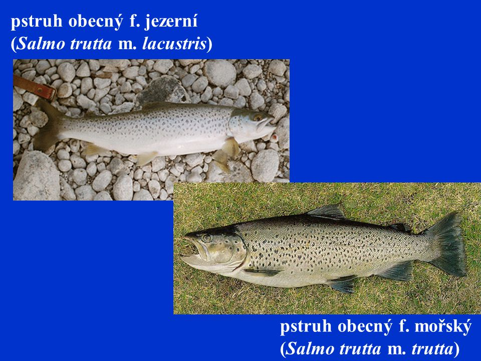 pstruh duhový – Oncorhynchus mykiss - 90-120 cm, užší a vyšší tělo, menší ústa.
