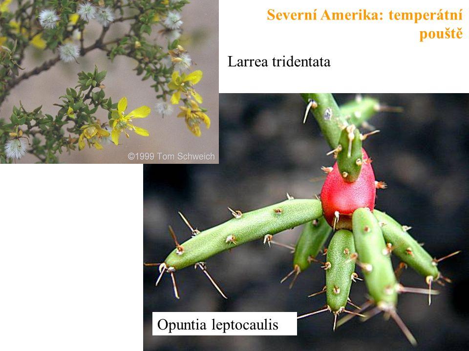 Opuntia leptocaulis Larrea tridentata Severní Amerika: temperátní pouště