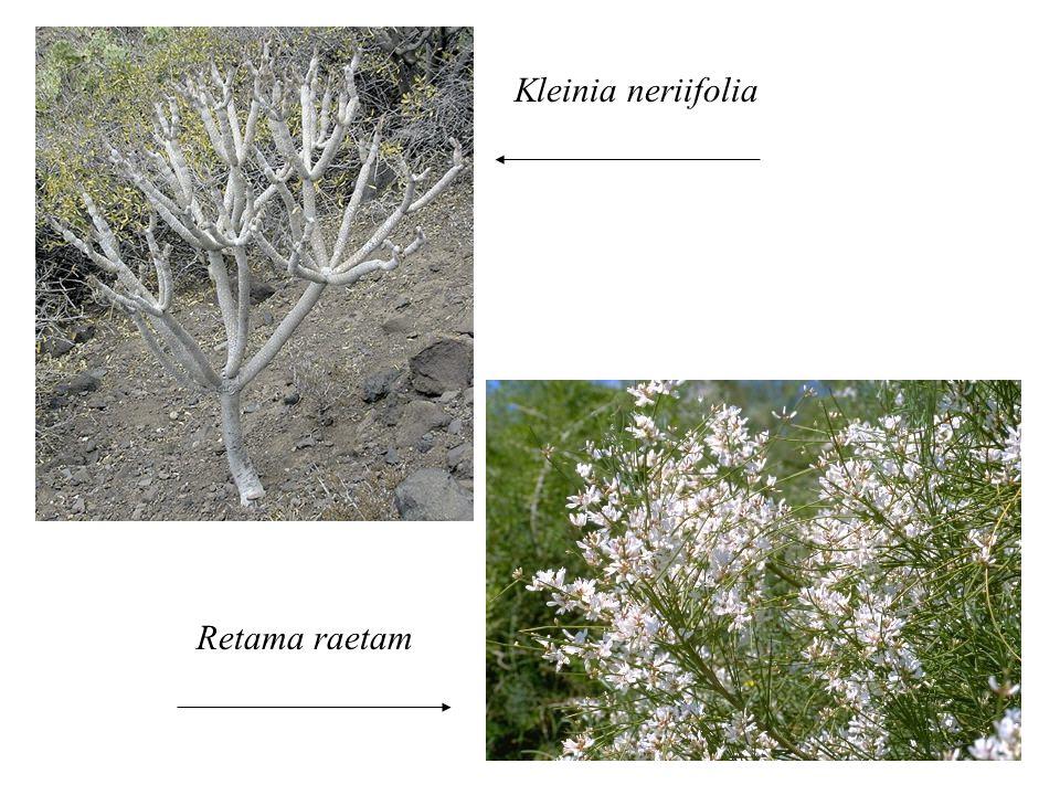 Kleinia neriifolia Retama raetam