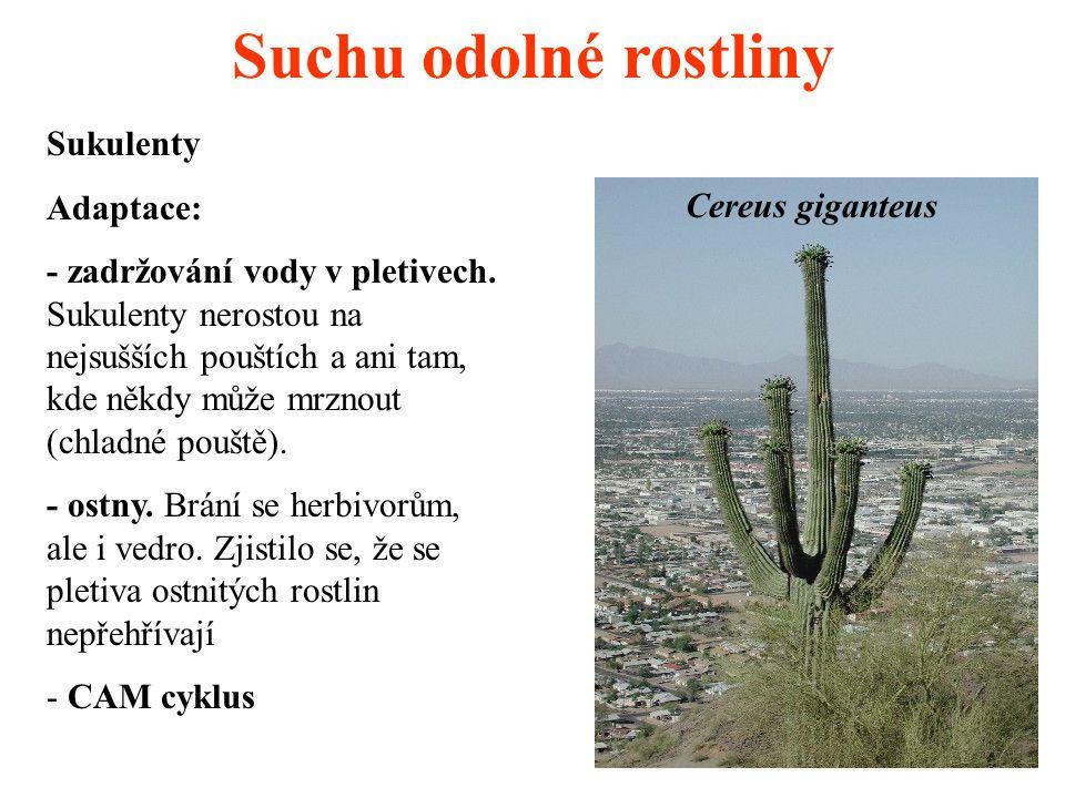 Suchu odolné rostliny Sukulenty Adaptace: - zadržování vody v pletivech. Sukulenty nerostou na nejsušších pouštích a ani tam, kde někdy může mrznout (