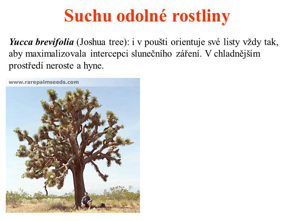 Suchu odolné rostliny Yucca brevifolia (Joshua tree): i v poušti orientuje své listy vždy tak, aby maximalizovala intercepci slunečního záření. V chla