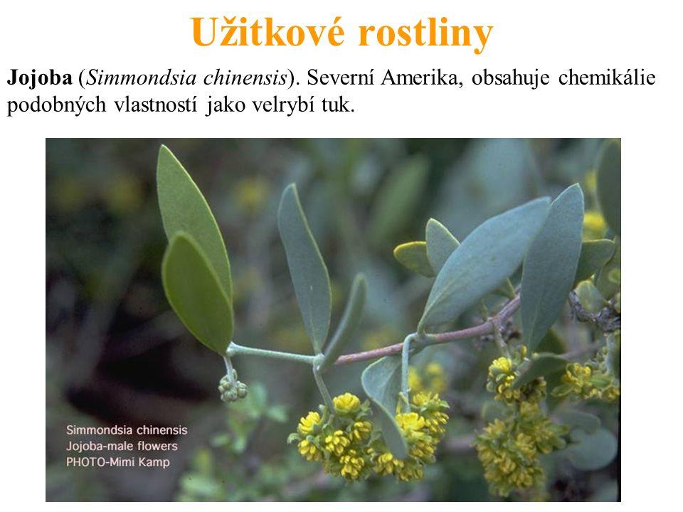 Užitkové rostliny Jojoba (Simmondsia chinensis). Severní Amerika, obsahuje chemikálie podobných vlastností jako velrybí tuk.