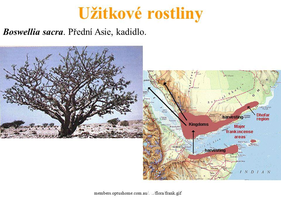 Užitkové rostliny Boswellia sacra. Přední Asie, kadidlo. members.optushome.com.au/.../flora/frank.gif