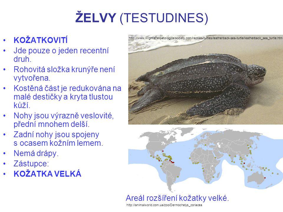 ŽELVY (TESTUDINES) KOŽATKA VELKÁ –Jde o největší recentní želvu.