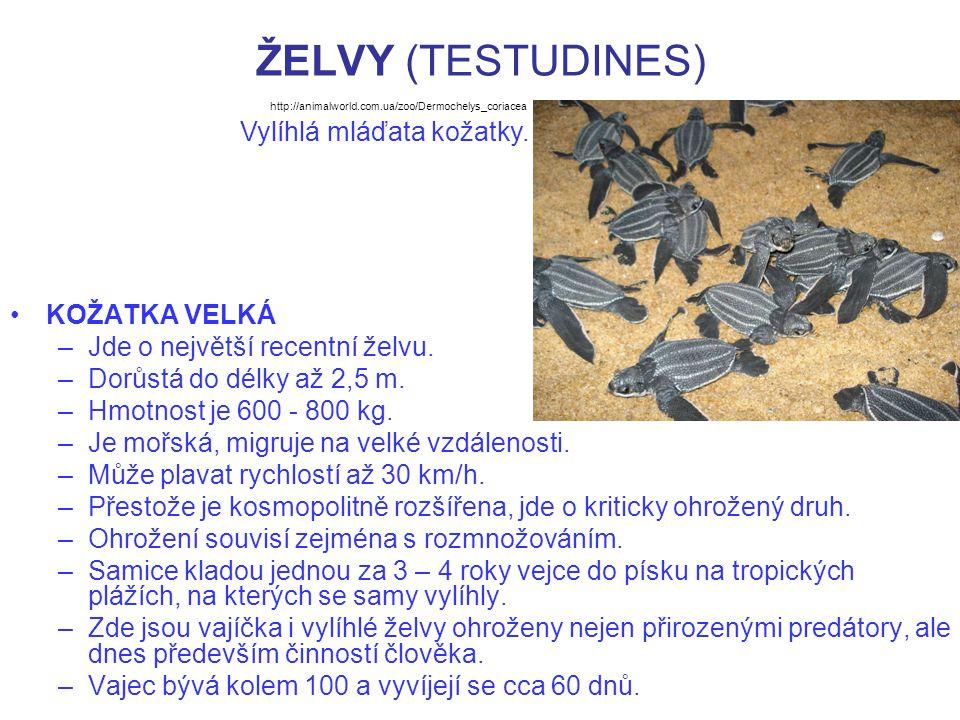 ŽELVY (TESTUDINES) KOŽATKA VELKÁ –Jde o největší recentní želvu. –Dorůstá do délky až 2,5 m. –Hmotnost je 600 - 800 kg. –Je mořská, migruje na velké v