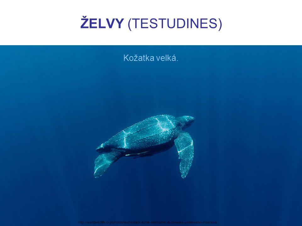 ŽELVY (TESTUDINES) Kožatka velká. http://worldwildlife.org/photos/leatherback-turtle-dermochelys-coriacea-underwater-indonesia