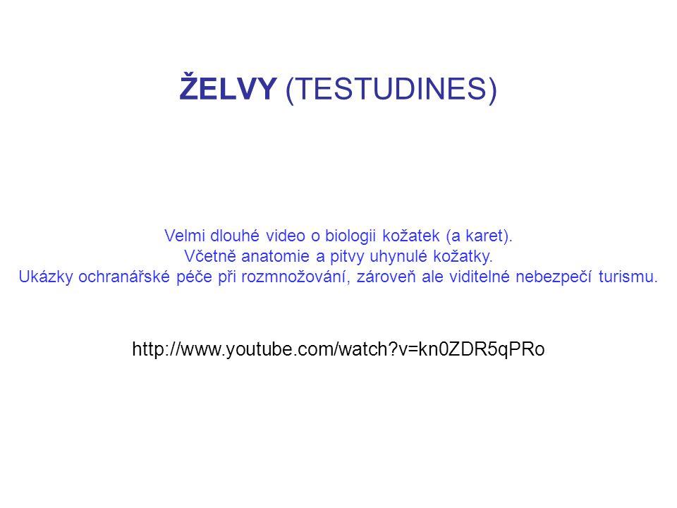 ŽELVY (TESTUDINES) http://www.youtube.com/watch?v=kn0ZDR5qPRo Velmi dlouhé video o biologii kožatek (a karet). Včetně anatomie a pitvy uhynulé kožatky