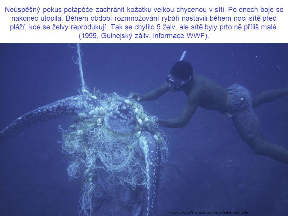 Neúspěšný pokus potápěče zachránit kožatku velkou chycenou v síti. Po dnech boje se nakonec utopila. Během období rozmnožování rybáři nastavili během