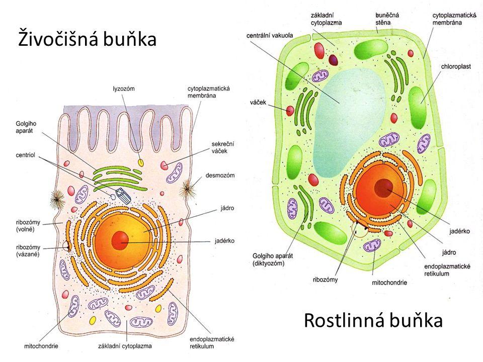 CO MAJÍ SPOLEČNÉHO: Cytoplazmatická membrána – polopropustný obal buňky, umožňuje průchod látek do buňky a ven Cytoplazma – vyplňuje buňku, probíhají v ní přeměny látek a zároveň slouží k přenosu látek do příslušných míst buňky Jádro a jadérko – řídí všechny děje v buňce, obsahuje chromozomy a zajišťuje přenos dědičných vlastností Endoplazmatické retikulum – síť váčků a kanálků, napojeno na jádro a Golgiho aparát, tvorba bílkovin (drsné ER) a rozklad tuků (hladké ER) Golgiho aparát (diktyozóm) – úprava molekul bílkovin Ribozomy – tvorba bílkovin a tuků Mitochondrie – buněčné dýchání a uvolňování energie
