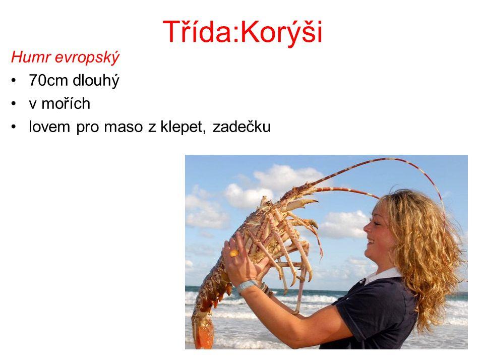 Třída:Korýši Humr evropský 70cm dlouhý v mořích lovem pro maso z klepet, zadečku