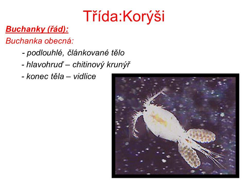 Třída:Korýši Buchanky (řád): Buchanka obecná: - podlouhlé, článkované tělo - hlavohruď – chitinový krunýř - konec těla – vidlice