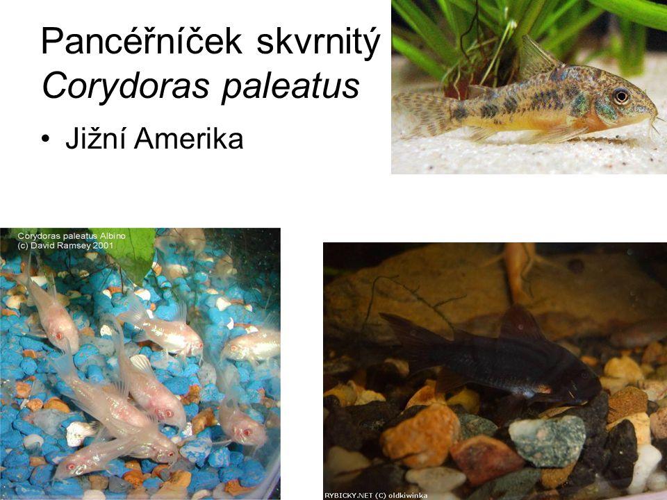 Pancéřníček skvrnitý Corydoras paleatus Jižní Amerika