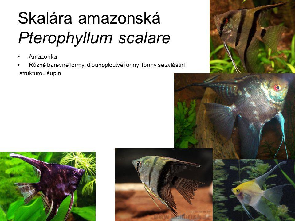 """Terčovec pravý Symphysodon discus """"Král akvarijních ryb Problematika jeden druh/dva druhy Desítky barevných variant"""