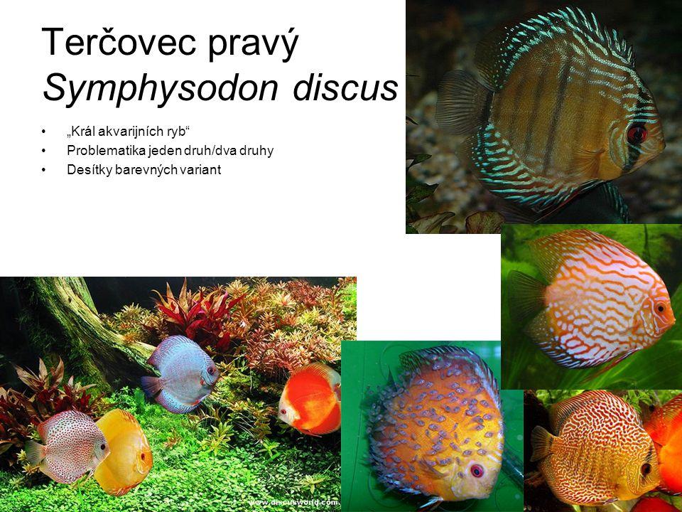 """Terčovec pravý Symphysodon discus """"Král akvarijních ryb"""" Problematika jeden druh/dva druhy Desítky barevných variant"""