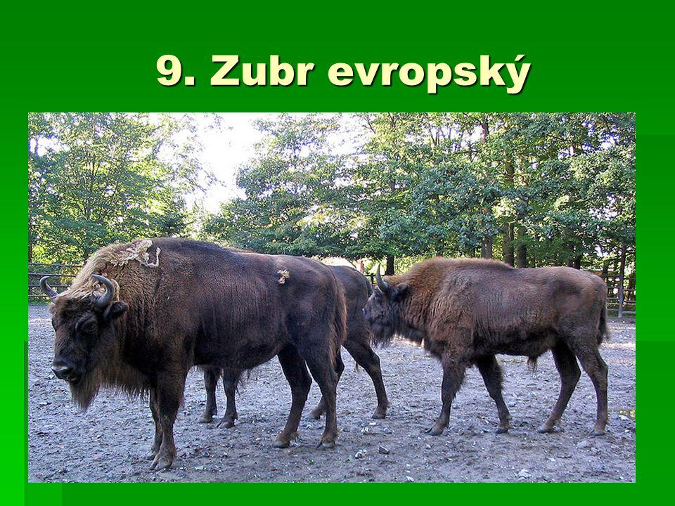 9. Zubr evropský