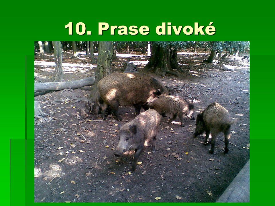 10. Prase divoké