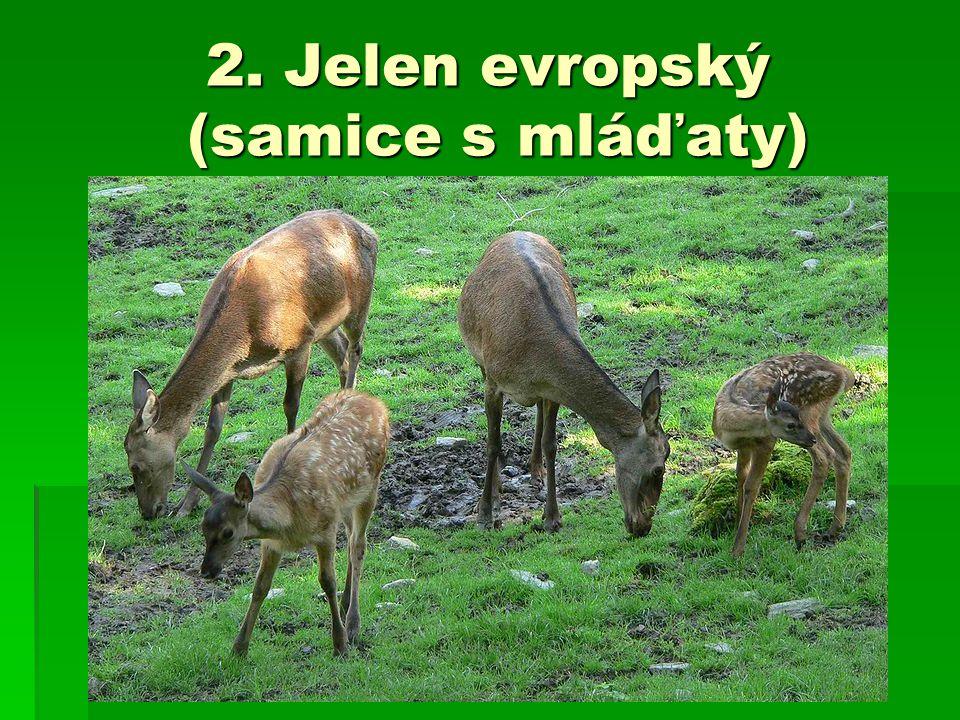 2. Jelen evropský (samice s mláďaty)