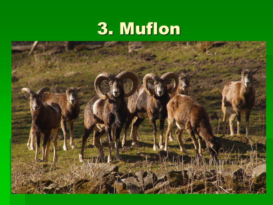 3. Muflon