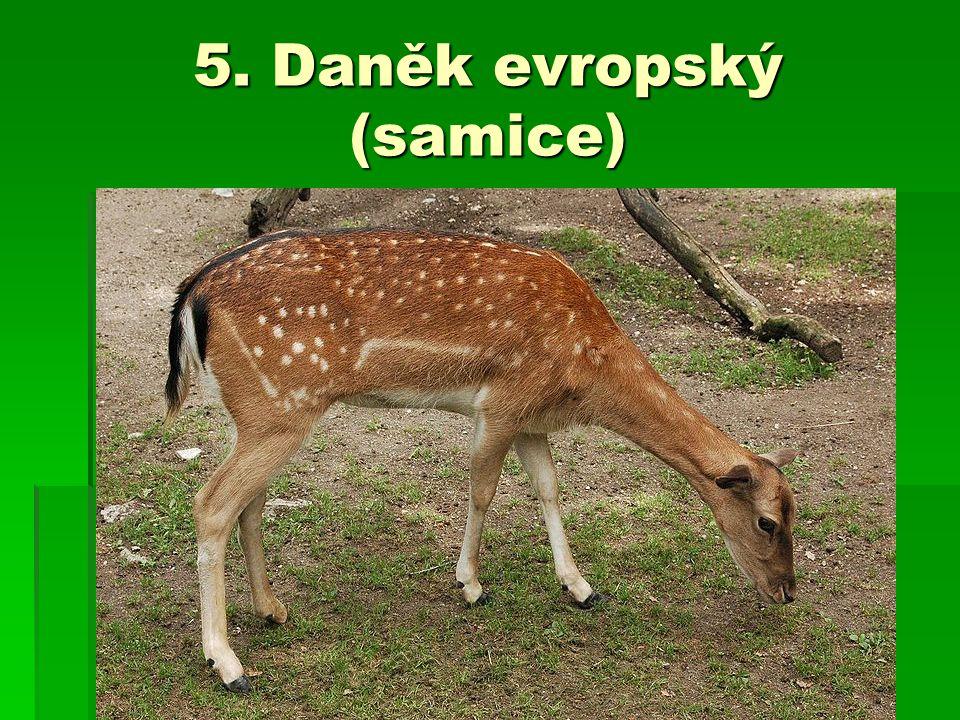 5. Daněk evropský (samice)