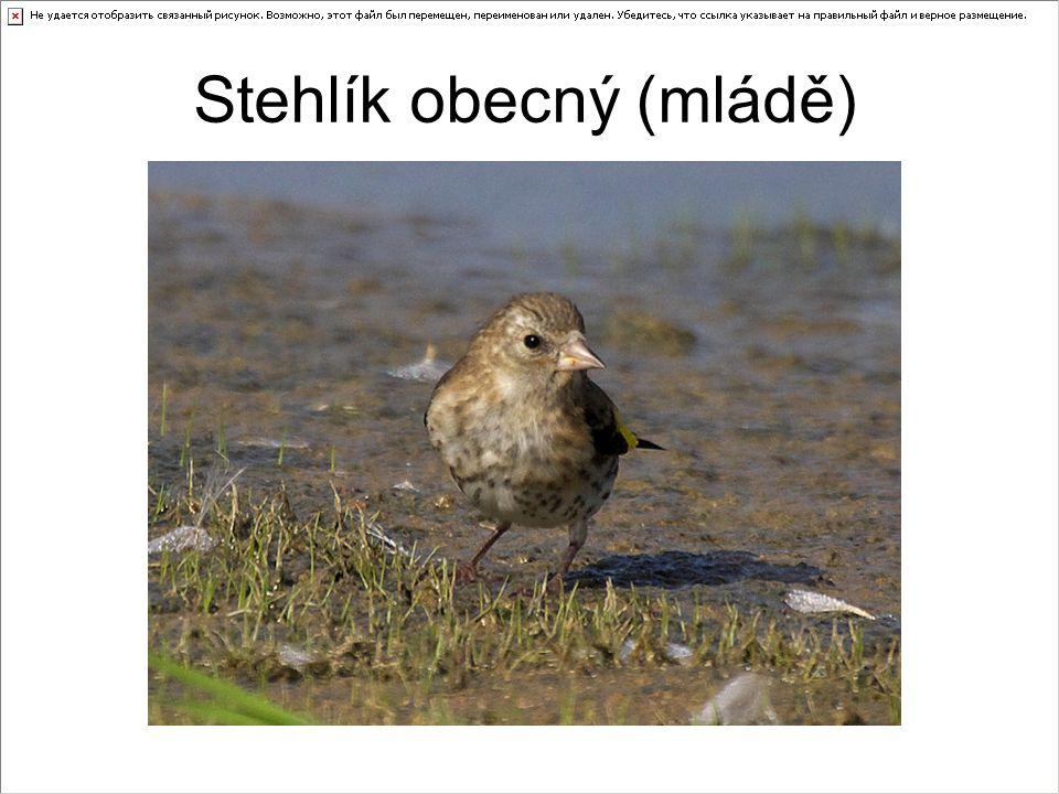 Stehlík obecný (mládě)
