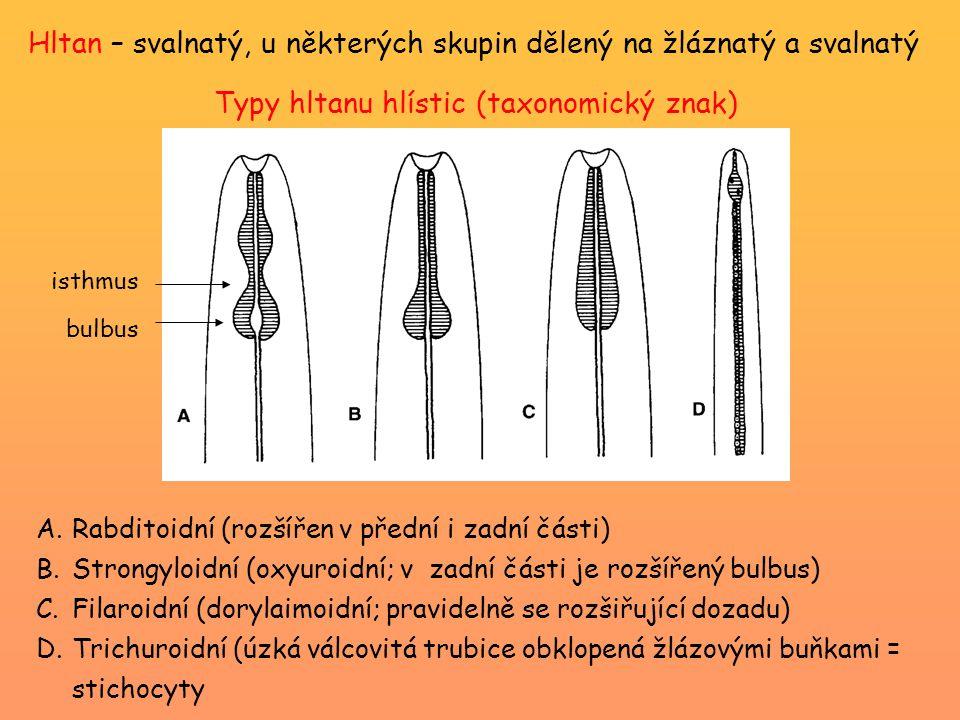 Hltan – svalnatý, u některých skupin dělený na žláznatý a svalnatý A.Rabditoidní (rozšířen v přední i zadní části) B.Strongyloidní (oxyuroidní; v zadn