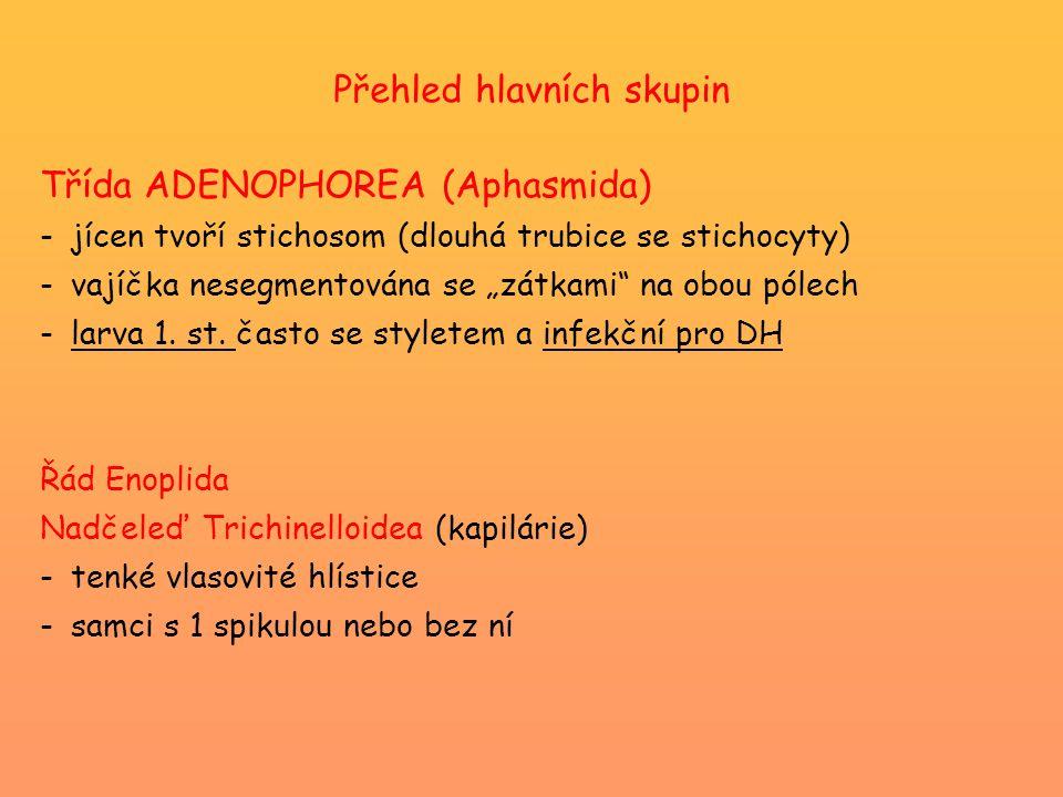 """Přehled hlavních skupin Třída ADENOPHOREA (Aphasmida) -jícen tvoří stichosom (dlouhá trubice se stichocyty) -vajíčka nesegmentována se """"zátkami"""" na ob"""