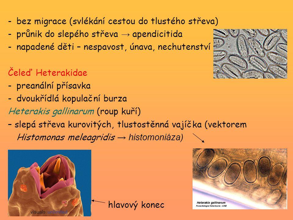 -bez migrace (svlékání cestou do tlustého střeva) -průnik do slepého střeva → apendicitida -napadené děti – nespavost, únava, nechutenství Čeleď Heter