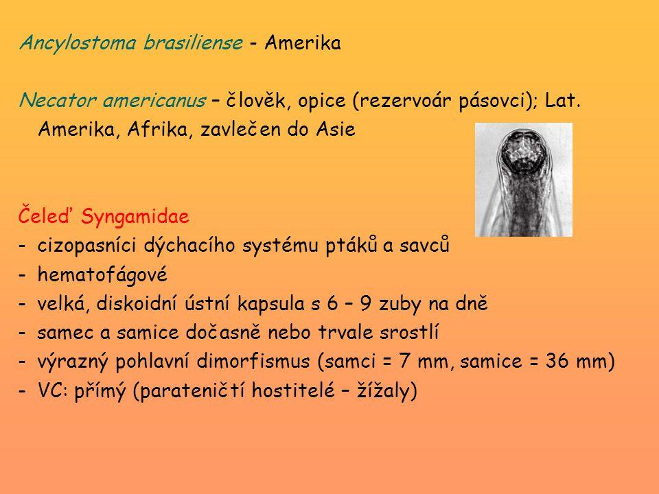 Ancylostoma brasiliense - Amerika Necator americanus – člověk, opice (rezervoár pásovci); Lat. Amerika, Afrika, zavlečen do Asie Čeleď Syngamidae -ciz