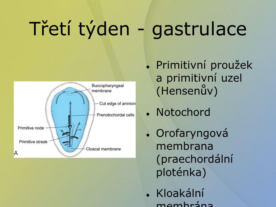 Třetí týden - gastrulace Primitivní proužek a primitivní uzel (Hensenův) Notochord Orofaryngová membrana (praechordální ploténka) Kloakální membrána