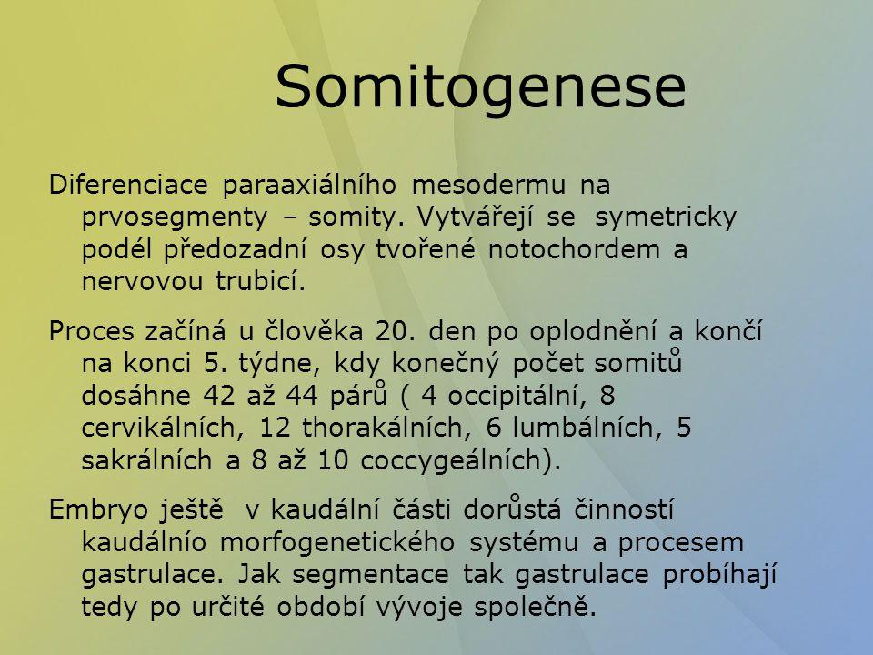 Somitogenese Diferenciace paraaxiálního mesodermu na prvosegmenty – somity. Vytvářejí se symetricky podél předozadní osy tvořené notochordem a nervovo