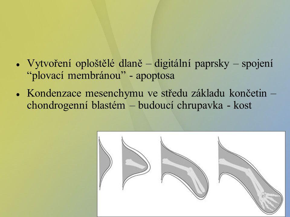 """Vytvoření oploštělé dlaně – digitální paprsky – spojení """"plovací membránou"""" - apoptosa Kondenzace mesenchymu ve středu základu končetin – chondrogenní"""