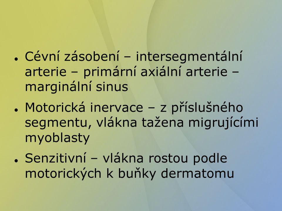 Cévní zásobení – intersegmentální arterie – primární axiální arterie – marginální sinus Motorická inervace – z příslušného segmentu, vlákna tažena mig
