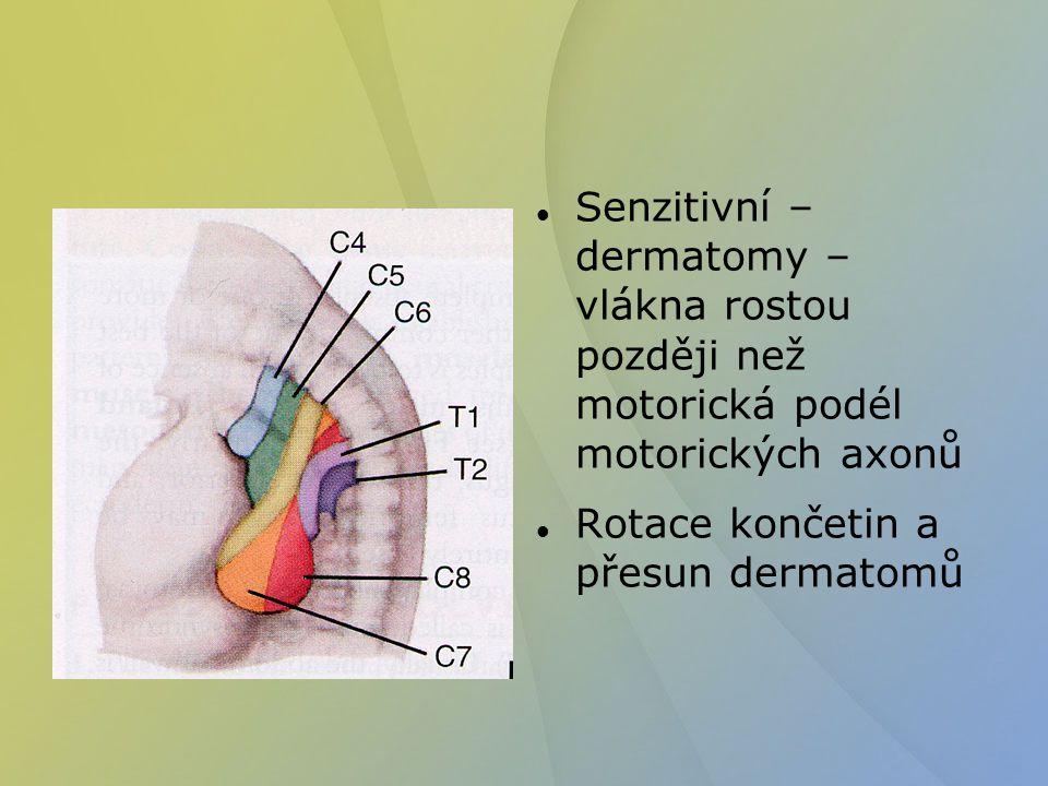 Senzitivní – dermatomy – vlákna rostou později než motorická podél motorických axonů Rotace končetin a přesun dermatomů