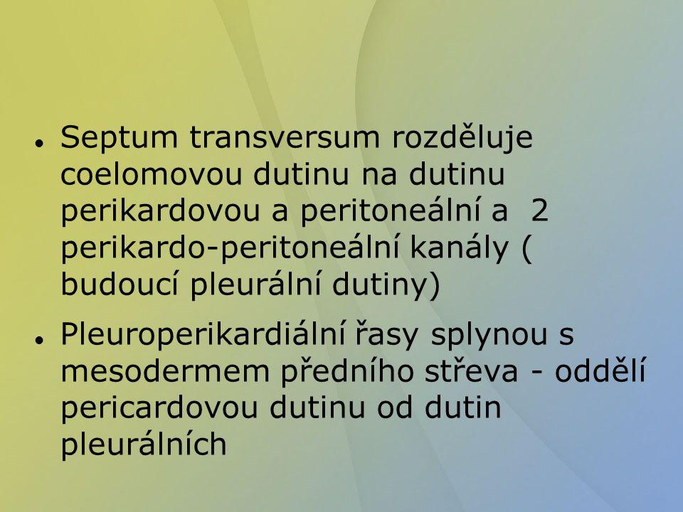 Septum transversum rozděluje coelomovou dutinu na dutinu perikardovou a peritoneální a 2 perikardo-peritoneální kanály ( budoucí pleurální dutiny) Ple